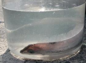 釣り人「リュウグウノツカイ捕まえたwww」 → 深海魚サケガシラでした