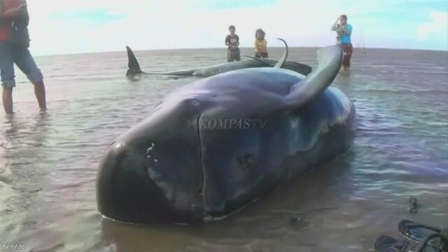 ゴンドウクジラ30頭超 岸に打ち上げ インドネシア