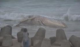 13日茨城でクジラが打ち上げ