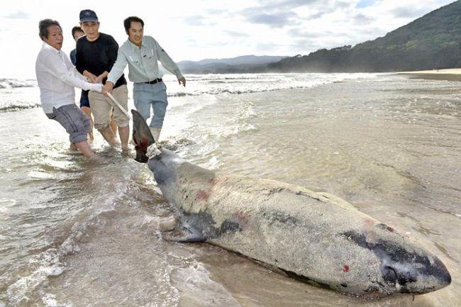 高知県土佐清水市の大岐の浜に迷いクジラ 住民ら海へ返す