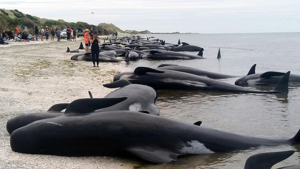 ニュージーランド南島、ゴールデン湾のフェアウェル岬で10日、400頭以上の「ゴンドウイルカ」と呼ばれるゴンドウクジラが浜辺に打ち上げられた。ラジオ・ニュージーランド局が伝えた。