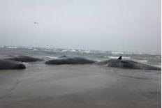 マッコウクジラ鹿児島県